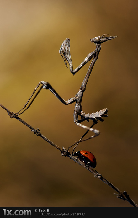 The fable of the ladybug and the empusa © Fabien BRAVIN