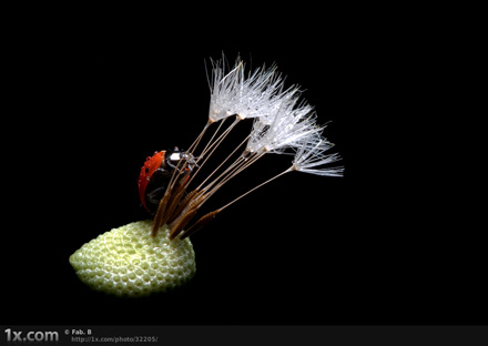 The lady bug and the dandelion II © Fabien BRAVIN