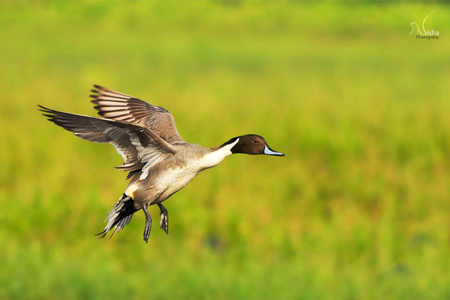 Northern-Pintail-Male - Nisha Purushothaman