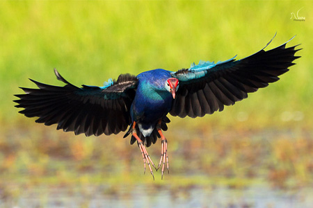 purple swamphen Nisha Purushothaman interview
