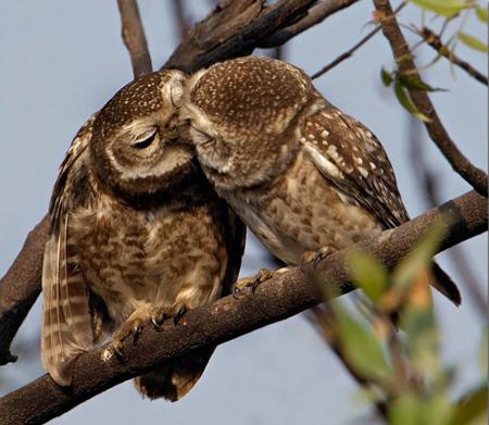 Spotted Owlet (Athene brama) Rathika Ramaswamy